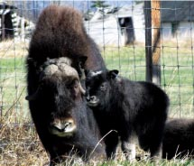 Visitors can interact with Muskox at one farm in Alaska. // © 2012 Mark Austin/Muskox Farms
