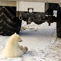 Fresh Tracks Canada can design custom tours for clients, including a visit with polar bears. // © 2013 Thinkstock