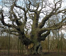 The Major Oak is located in which forest in Britain? // © 2011 Duncan Harris