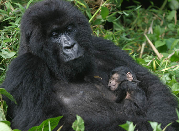 Tracking the endangered mountain gorilla in Rwanda is a thrilling and unforgettable experience. // (c) 2013 Thinkstock