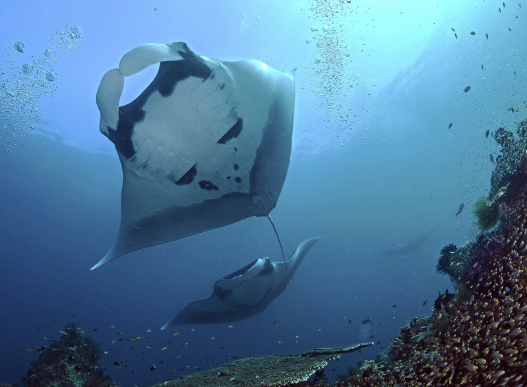 At Four Seasons Maldives, guests can swim with both manta rays and marine scientists. // © 2014 Thinkstock
