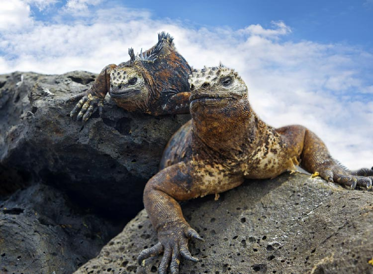 The marine iguana is unique to the Galapagos, a destination best discovered by cruise. // © 2015 Thinkstock