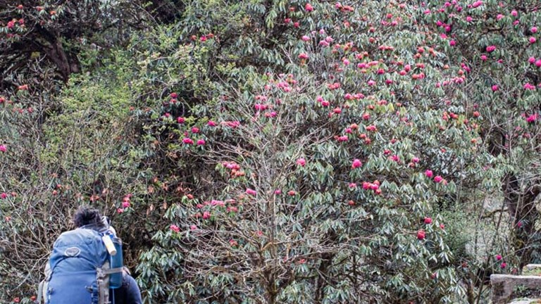 The trek to Ghorepani is long, but the home stretch involves hiking past rhododendron bloom during Nepal's spring season. // © 2015 Mindy Poder