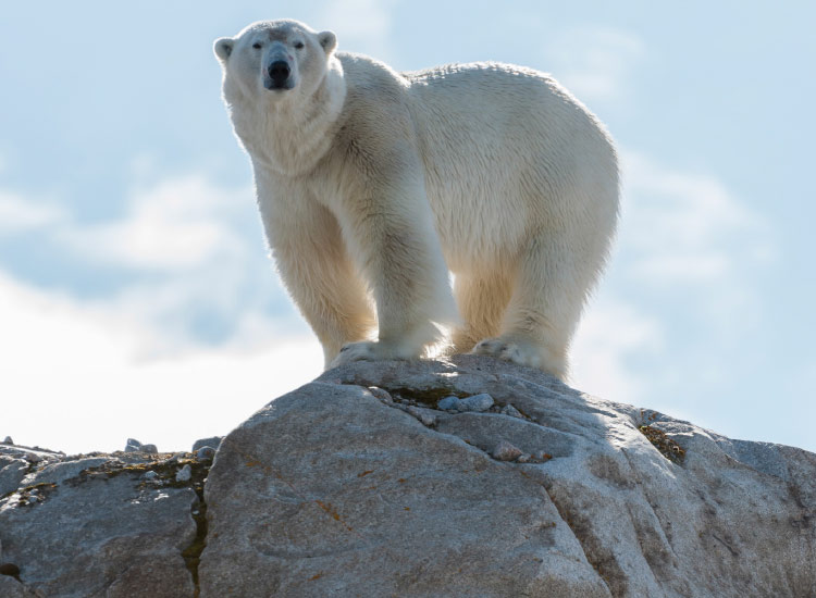 Greenland expeditions sometimes offer polar bear viewing. // © 2015 iStock