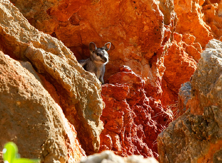 Guests should also look out for wildlife such as the black-footed rock wallaby. // © 2016 Coral Coast