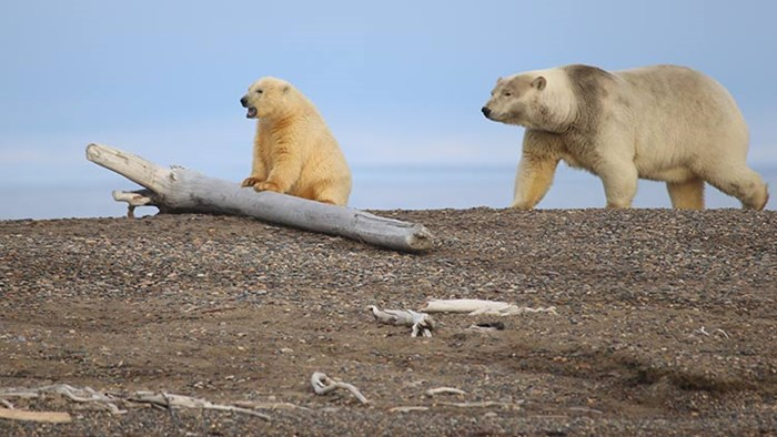 Polar Bears in Kaktovik, Alaska