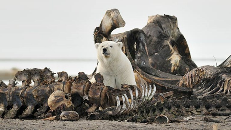 Polar bears are seen in large numbers around September, when the locals harvest bowhead whales. // © 2017 iStock