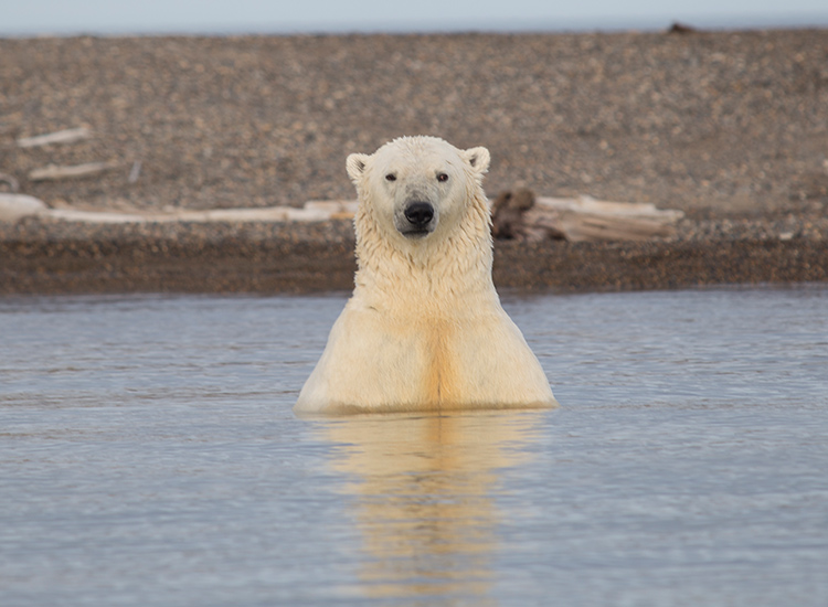 Polar bear viewing in the Arctic Refuge quintupled between 2011 and 2014. // © 2017 Mindy Poder
