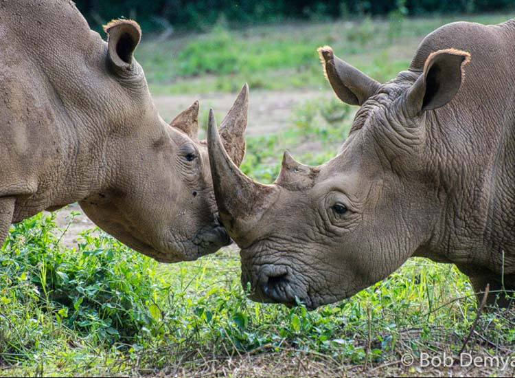 The white rhinoceros is actually grey. // (c) Bob Demyan