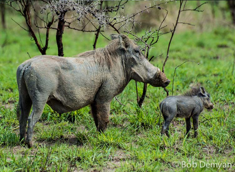 A warthog and its baby, spotted from a boat tour // (c) Bob Demyan