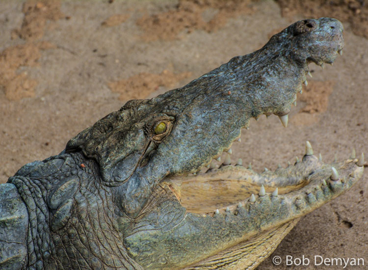 A Nile crocodile stretches his jaws. // (c) Bob Demyan