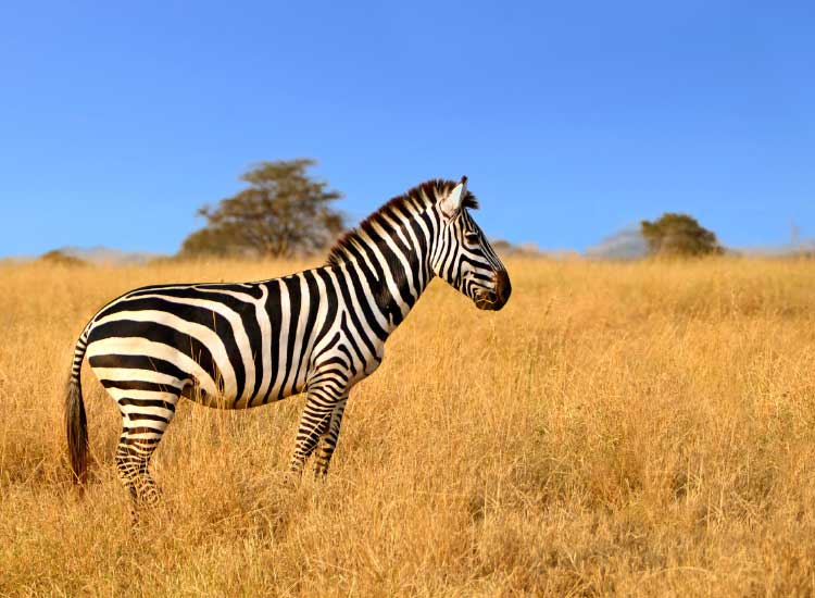 "Big game hunting safaris have been replaced with safaris that give travelers a chance to ""shoot"" animals with their cameras.// © 2014 Thinkstock"