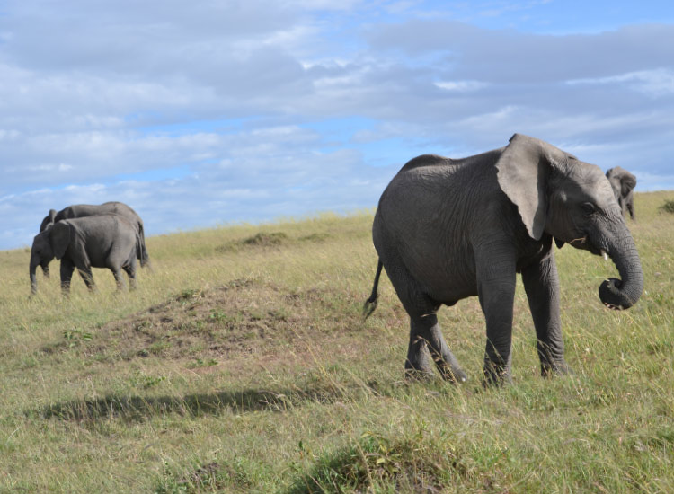 Elephants in the Masai Mara // © 2015 Mindy Poder