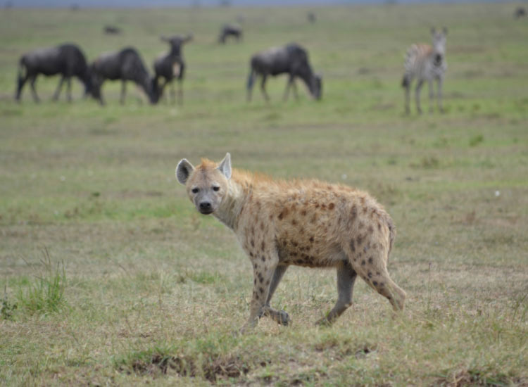 A spotted hyena in the Mara // © 2015 Mindy Poder