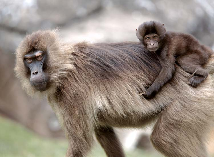 Visitors to Simien Mountains National Park can spot gelada baboons. // © 2014 Cox & Kings