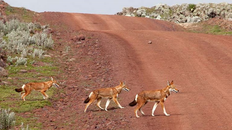 Wild foxes roam Bale Mountains National Park. // © 2014 Cox & Kings