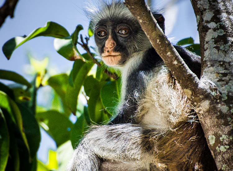 The endangered red colobus monkey is found only on Zanzibar and Pemba. // © 2013 Bob Demyan