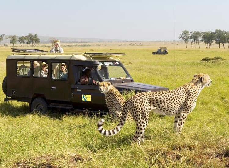 An A&K group gets up close with cheetahs. // © Karoki Lewis/Abercrombie & Kent Picture Library