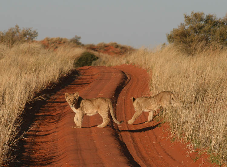 Game drives promise sightings of a variety of animals, which may include lion cubs. // © 2016 !Xaus Lodge