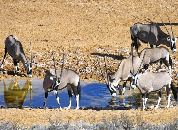 There are 18 species of antelope in the park, including gemsbok. // © 2016 !Xaus Lodge