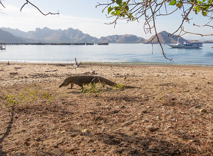 The Komodo Lizard is called a dragon because of its aggressive and potentially deadly behavior. // © 2017 Mindy Poder