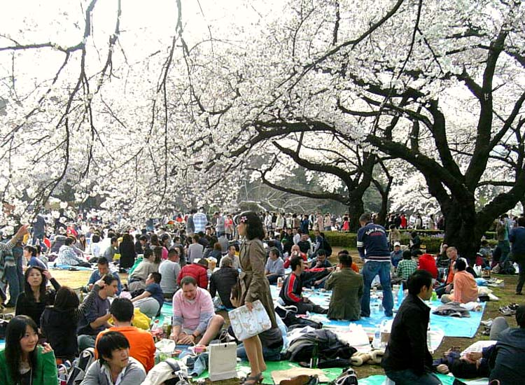 The Shinjuku National Garden in Tokyo has more than 1,000 cherry trees, making it a great place for cherry blossom viewing in the spring. // © 2014 Boutique Japan