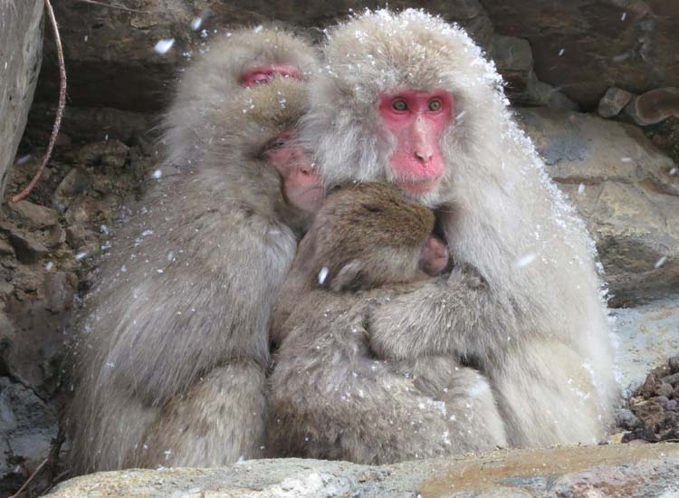 Many travelers to Japan make the trek to Nagano, where Japanese Macques, or snow monkeys, huddle and play together in their wintry home. // © 2014 Julie Snider