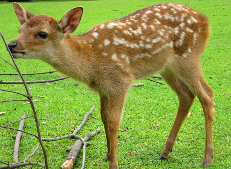 June is fawn season at Nara Park and a terrific time to capture great photos. // © 2014 Shane Nelson