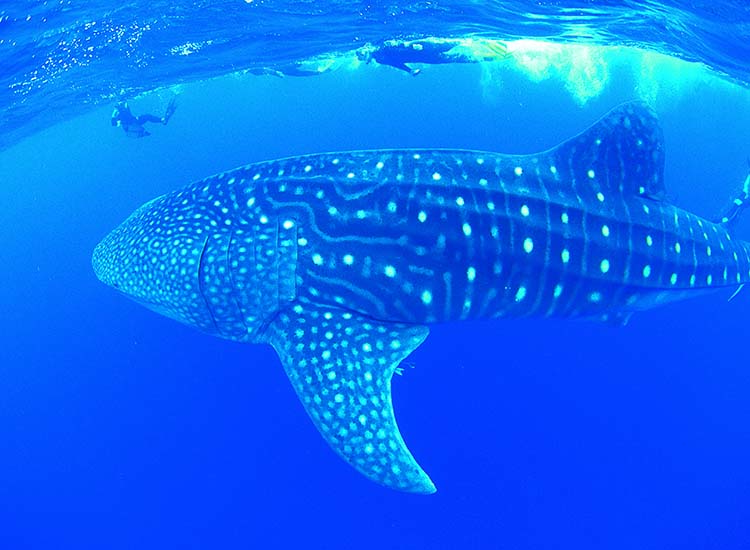 To swim with whale sharks, head to Ningaloo Reef from April to July. // © 2015 Tourism Western Australia