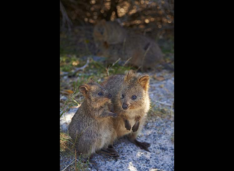 There are about 12,000 quokkas on Rottnest Island. // © 2015 Tourism Western Australia