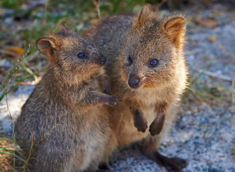 Off the coast of Perth is Rottnest Island, home to the world's largest population of quokkas. // © 2015 Tourism Western Australia