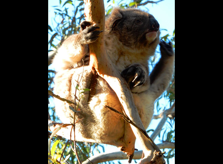 During their trip, clients may visit Phillip Island's Koala Conservation Centre. // © 2015 Shane Nelson
