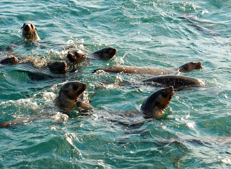 A herd of curious fur seals play near the writer's boat. // © 2015 Shane Nelson