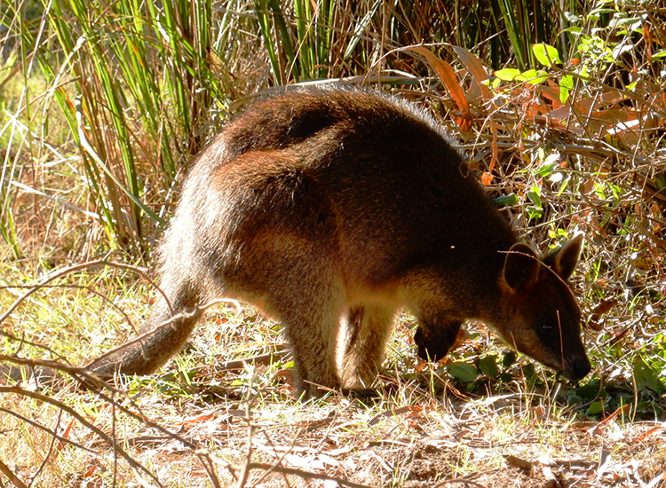 A wallaby explores the grounds at Phillip Island's Koala Conservation Centre. // © 2015 Shane Nelson