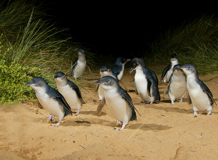 A herd of penguins explores the island at night. // © 2015 Tourism Australia