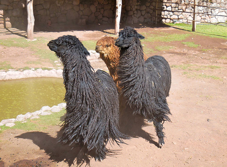 A trio of Suri alpacas (those with long dread-like locks that grow parallel to the body) huddles together at Awana Kancha in Peru. // © 2014 Zorianna Kit