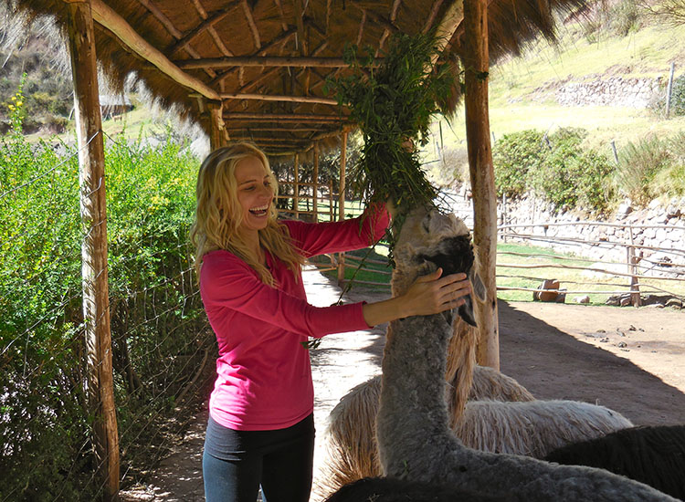 Visitors to Awana Kancha have the opportunity to feed the herbivore alpacas. // © 2014 Zorianna Kit