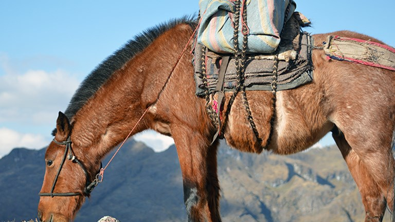 Pack horses carry supplies on hikes. // © 2015 Valerie Chen