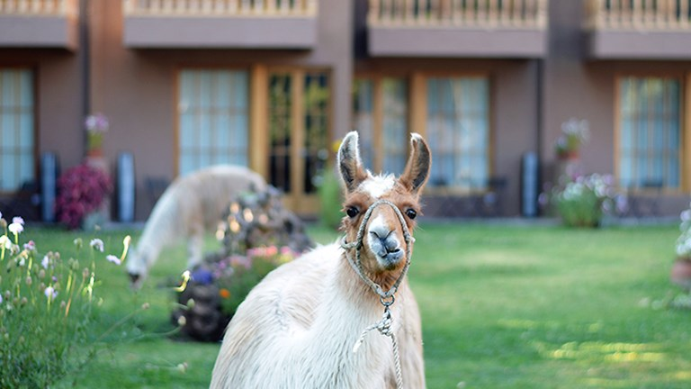 One of the friendly llamas at the MLP-owned Lamay Lodge // © 2015 Valerie Chen