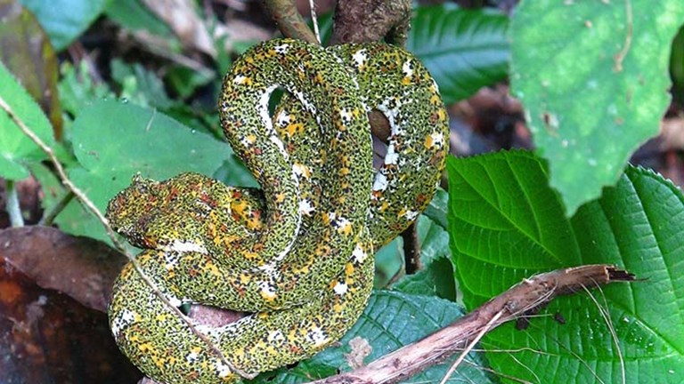 "Go on an ""Arenal Hanging Bridges"" tour, and you could see an eyelash pit viper (one of the most venomous of Costa Rica's 140 species of snakes). // © 2017 Janice Mucalov"