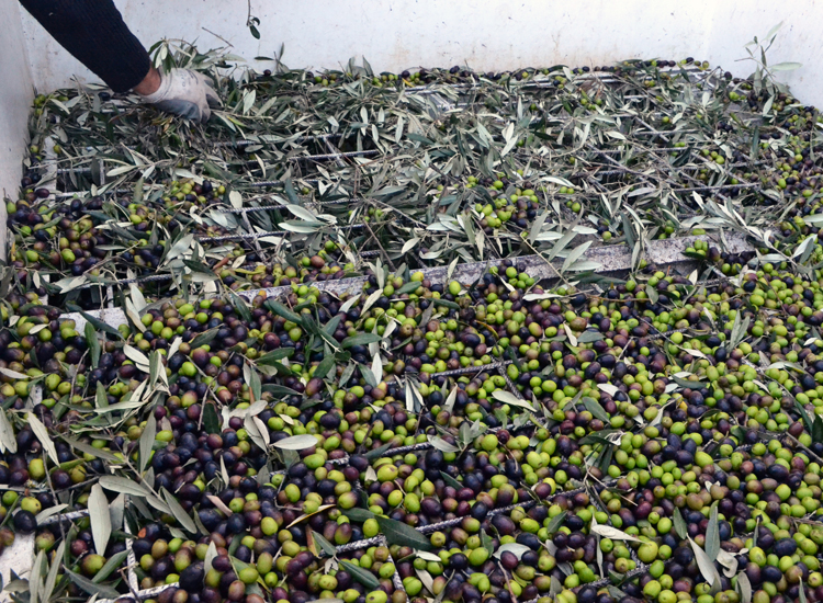 The Pruneti farm in Chianti Classico in Florence produces four types of Extra Virgin Olive Oil. // (c) 2013 Mindy Poder