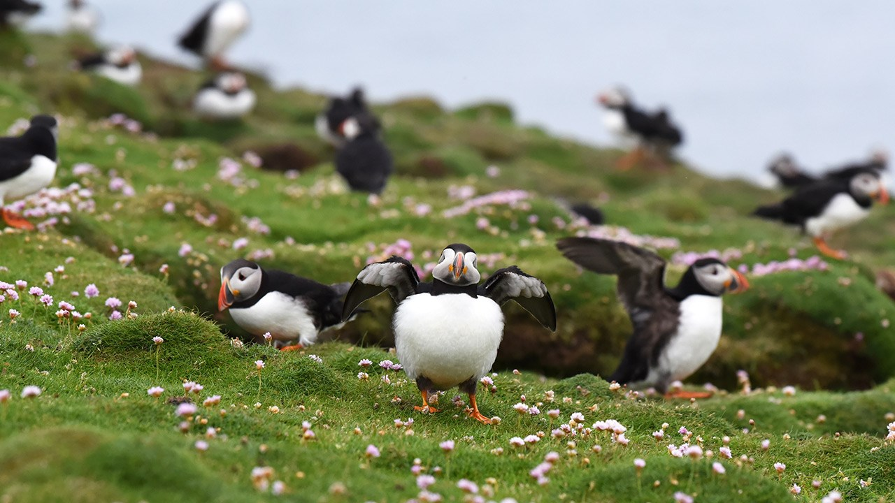 "Puffins sometimes puff up their body and spread their wings to look bigger, a behavior known as ""gaping."""