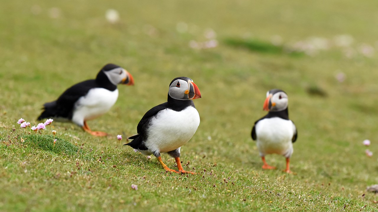 Every spring, puffins' beaks and feat turn a bright shade of orange in preparation for breeding season.