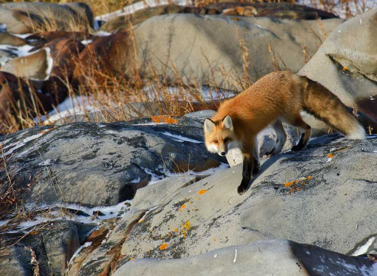 Red fox was spotted just wandering around searching for his next meal, , Honorable Mention, 2012 TravelAge West reader photo contest // © 2012 Rick Pepin