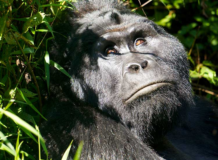 Gorilla in the Bwindi Impenetrable Forest, Second Place, 2013 TravelAge West reader photo contest  // © 2013 Tamara Hathaway
