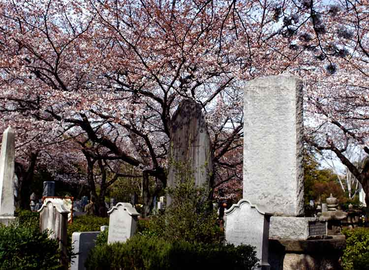 A unique graveyard, Aoyama Cemetery in Japan can serve as an unusual place to see the cherry blossoms while in bloom. // © 2017 Creative Commons user Jim O'Connell