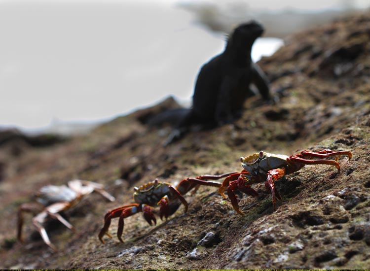 Endemic animals abound in the Galapagos Islands, including the bright-red Sally Lightfoot crabs. // © 2014 Thinkstock