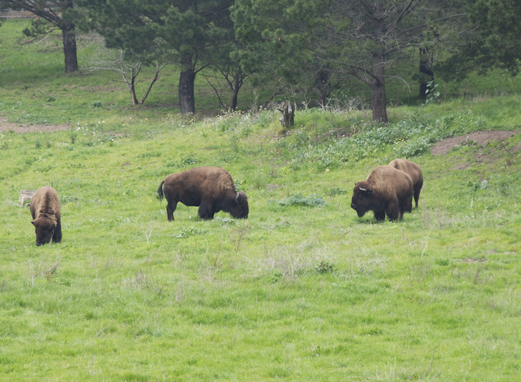 Among Golden Gate Park's many sights is Buffalo Paddock, home to a handful of American bison. // © 2016 iStock