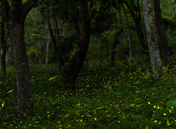 Firefly Forest in Tlaxcala // © 2016 iStock