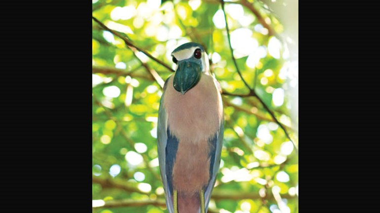 The boat-billed heron is among the more than 250 bird species that bird-watchers might spot in Mexico's La Tovara National Park, located 100 miles north of Puerto Vallarta near the colonial town of San Blas. // © 2015 Riviera Nayarit Convention and Visitors Bureau